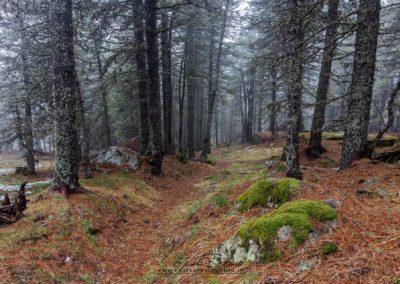 La nebbia nel bosco