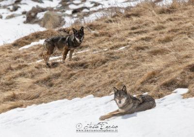 Coppia di lupi alpha