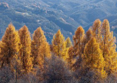 I larici cambiano colore in autunno