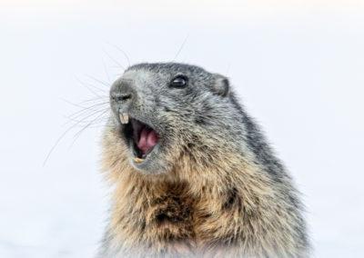 Il risveglio della marmotta