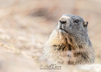 ritratto di marmotta
